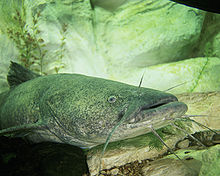 Picture of flathead catfish near and underwater rock lair.