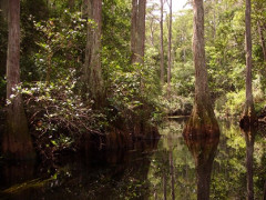 Picture of the Okeefenokee Swamp with Cypress trees and water.