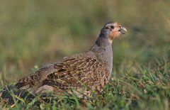 Image of a partridge.