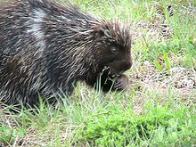 Porcupine eating grass