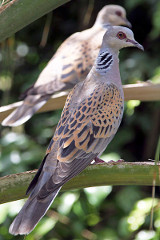 Image of a pair of turtle doves.