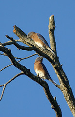 Images of Eastern Bluebirds on dead tree branches.