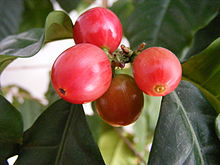 Red coffee berries on a bush, ripening for harvest.