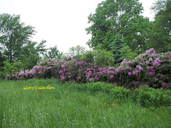 Image of Glory Lennon's Rhododendron Hedge in Bloom