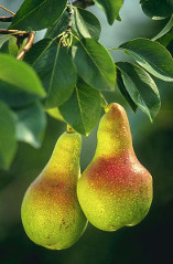 Image of pears in a tree.