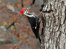 A pileated woodpecker with its red head, long beak, and dark body.