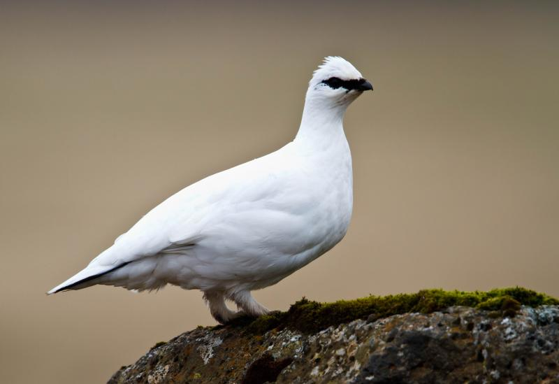 Image of a rock ptarmigan in winter.